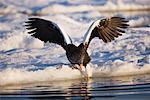 Steller's Sea Eagle, Nemuro Channel, Rausu, Hokkaido, Japan