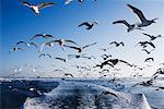 Seagulls Following Boat, Nemuro Channel, Shiretoko Peninsula, Hokkaido, Japan