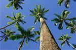 Palm Trees, Kahana Beach, Oahu, Hawaii, USA