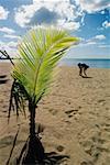 Pousse de palmier cultivé sur une plage de sable fin, Puerto Rico