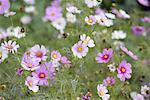 Garden of Cosmos of Flowers