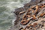 Phoques sur la côte, Oregon, Etats-Unis