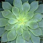 Echeveria Subsessilis