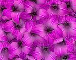 Glaïeul violet