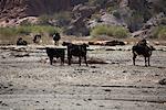 Vaches, Quebrada de las Conchas, Province de Salta, Argentine