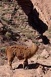 Portrait de lamas, Quebrada de las Conchas, Province de Salta, Argentine