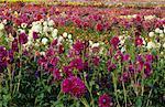 Flower Field, Portland, Oregon
