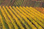 Personne qui travaille dans le vignoble, Bade-Wurtemberg, Allemagne