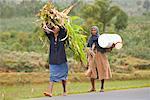 Corn Harvest Near Behenjy, Madagascar