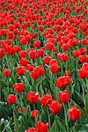Tulips, Commissioners Park, Ottawa, Ontario, Canada