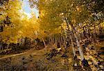 Aspens in Fall, Colorado, USA