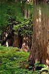 Forêts anciennes cèdres, Colombie-Britannique, Canada