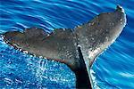 Gros plan de la nageoire de la baleine à bosse