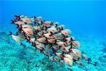 Humpback Snapper School, Pacific Ocean, Polynesia