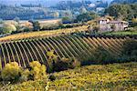 Vineyard, Montepulciano, Tuscany, Italy