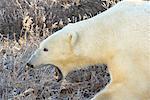 Yawning Polar Bear, Churchill, Manitoba, Canada