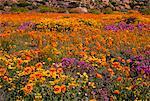 Champ de fleurs sauvages, près de Springbok, Namaqualand, Northern Cape, Afrique du Sud