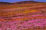 Champ de fleurs sauvages, Namaqualand, Northern Cape, Afrique du Sud