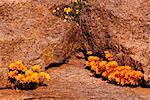 Wildflowers, Bokleikraal, Kamiesberg Plateau, Northern Cape, South Africa