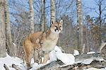 Portrait of Cougar
