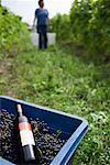 Cueillette des raisins dans les vignes