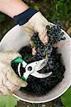 Récolte des raisins de cuve