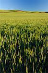 Champ de blé près de Colfax, région Palouse, Whitman County, Washington, Etats-Unis