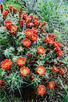Claret Cup Cactus, Texas Hill Country, Texas, USA
