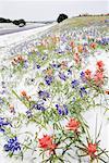 Gelée de fleurs dans la neige par Country Road, Texas Hill Country, Texas, USA