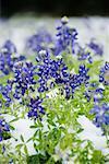Frozen Bluebonnets in Snow, Texas Hill Country, Texas, USA