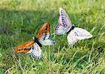Fausses papillons en herbe