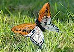 Faux papillon dans l'herbe