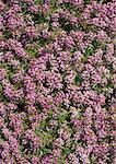 Fleurs couvre-sol, plein cadre