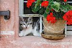Kitten Looking Out Window