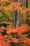 Maple Tree in Autumn, Algonquin Provincial Park, Ontario, Canada