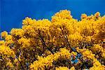 Tree, Island of Oahu, Hawaii, USA