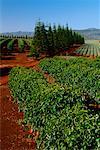 Café et les champs d'ananas, Oahu, Hawaii, USA