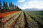 Champs d'ananas, Oahu, Hawaii, USA
