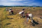 Agriculteurs récolte dans un champ, Nha Trang, Viêt Nam