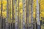 Aspen Grove à l'automne, le Parc National Banff, Alberta, Canada