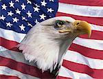 Aigle à tête blanche devant le drapeau américain (Composite numérique)