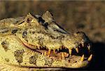 Black caiman (Melanoschus niger), close-up, Brazil