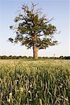 Old Oak Tree in Wheat Field, Devon, England, United Kingdom