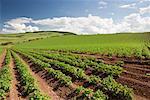Champ de pommes de terre, de la région des Scottish Borders, Ecosse, Royaume-Uni