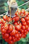 Tas de tomates