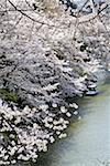 Fleurs de sherry trimestre, Parc Kitanomaru, Japon, Tokyo, Chiyoda-Ku