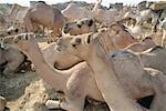 Egypt, Cairo, Imbaba district, camel market