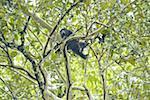 Guatemala, Tikal National Park, howler monkey