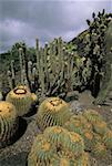 Espagne, Iles Canaries, Gran Canaria, jardin des Canaries, cactus