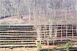 China, Yunnan, between Menghai and Lancang, tea and hevea plantation